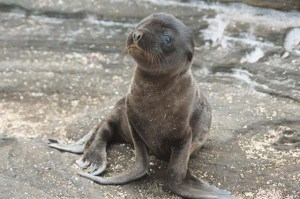 teaching baby seals how to walk since 2013